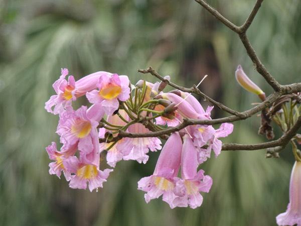 Cây Kèn Hồng (Cây Chuông Hồng) - Sắc Hồng Tô Điểm Những Ngày Tháng 4