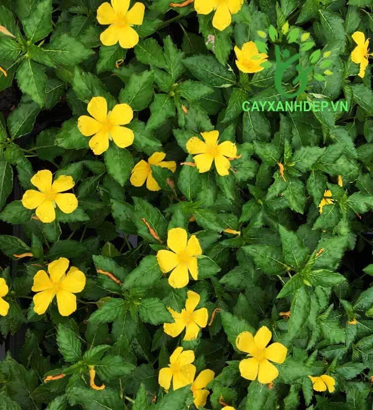 Dừa Cạn (Hoa Vàng)